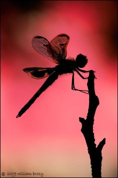 The gorgeous deep pink predawn light and a dragonfly silhouette - the morning was complete. Dragonfly Art, Dragonfly Tattoo, Dragonfly Drawing, Fairies Photos, Beautiful Bugs, Fantasy Photography, Fairy Art, Faeries, Beautiful Creatures