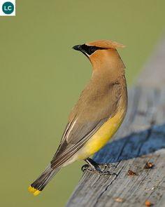 https://www.facebook.com/WonderBirds-171150349611448/ Cánh sáp tuyết tùng; Họ Cánh sáp-Bombycillidae/Waxwing; Trung và Bắc Mỹ    Cedar waxwing (Bombycilla cedrorum); IUCN Red List of Threatened Species 3.1 : Least Concern (LC)(Loài ít quan tâm).