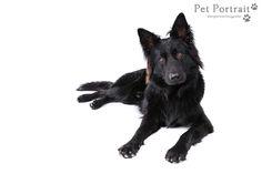 Hondenfotografie Hillegom - Foto van de fotoshoot voor Oudduitse Herder Champ