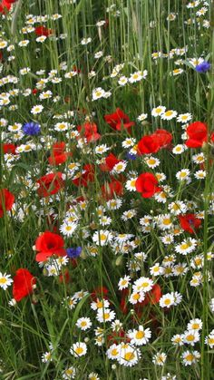 in the meadow, daisies, poppies, cornflowers, grass, meadow