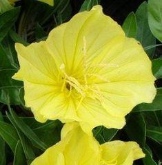 Évelő kerti virágok, Sziklakerti és talajtakaró évelők Missouri, Plants, Flowers, Plant, Planets