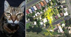 Dans le but d'en savoir plus sur leurs activités nocturnes, 25 chats australiens ont été équipés de puces GPS…