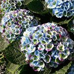 Find out which hydrangeas are the best bets for your yard.
