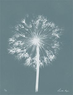 TROWBRIDGE - Wild Meadow Flowers - Hailed as the first female photographer, Anna Atkins was also the first person to use cyanotype printi...