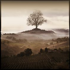 Big Tree In Tuscany by Arbor Lux