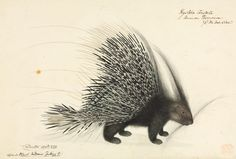 Thomas Hardwicke. Porcupine. From 'Illustrations of Indian Zoology' (1830-1834)