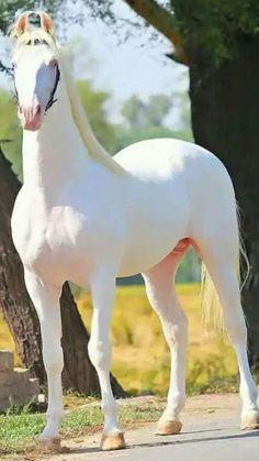 Beautiful Horse Pictures, Most Beautiful Horses, Pretty Horses, Horse Love, Animals Beautiful, Albino Horse, Rare Albino Animals, Rare Horse Breeds, Rare Horses