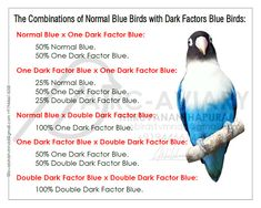 Akhilchandrika : Examples of Pairing with the Normal Blue Birds with Dark Factors Blue Birds.