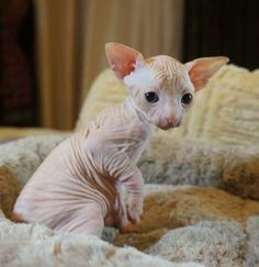 Hairless Cat Rescue Alberta