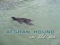 Afghan hound in the sea