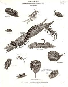 Tanzanian Blue Ringleg centipede, Woodlice, Horseshoe Crab from Abraham Rees