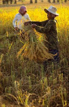 Rice harvest - Cambodia