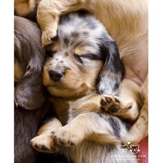 """From """"Could this be any cozier? Cute Puppies, Dogs And Puppies, Doggies, Cute Little Animals, Adorable Animals, Animals And Pets, Small Animals, Puppy Love, Dachshund"""