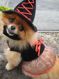 Pomeranian dressed up in Witch costume.  Ellie would have this tore off in 2 seconds.
