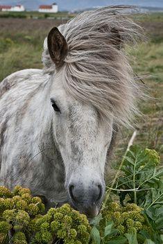 Icelandic Horse, Reykjavik