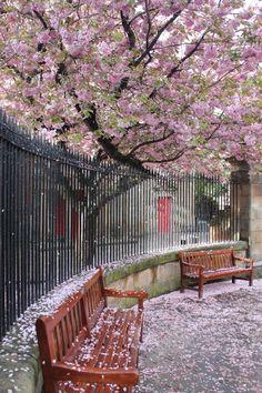 "Edinburgh's ""pink snow"" cherry trees ~ Scotland ml. Beautiful World, Beautiful Places, Peaceful Places, Amazing Places, Places To Travel, Places To Visit, Pink Snow, Cherry Tree, Belle Photo"