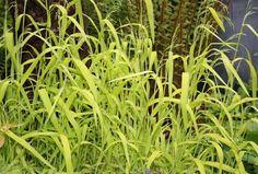 Milium effusum Aureum Wildlife Wild Bird food Full shade grass