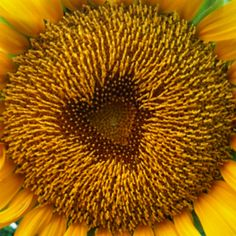 Heart shaped center of sunflower !!! Wonders of the world!!