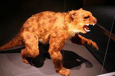 marsupial lion -- Thylacoleo carnifex