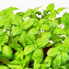 Basil is one of the most beloved herbs and is even better when fresh picked. Learn how to grow basil year after year for free with an easy trick!