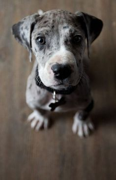 Merle mantle Great Dane. Look at that face :)