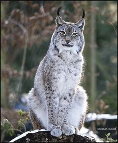 Lince - Nature and Wildlife - Kitty kit Big Cats, Cool Cats, Cats And Kittens, Beautiful Cats, Animals Beautiful, Animals And Pets, Cute Animals, Wild Animals, Baby Animals