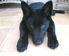 Solid black GSD - Black German Shepherds - Black German Shepherd Dogs