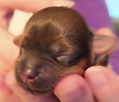 1 Day Old Havanese Puppy - Chocolate Brown - Agate Bay Havanese Havanese Puppies, Shih Tzu Puppy, 1 Day, Chocolate Brown, Agate, French Bulldog, Dogs, Animals, Baby Shih Tzu