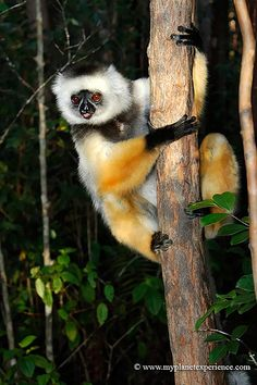 Madagascar - Diademed sifaka - lemur. Travel to Madagascar with ISLAND CONTINENT TOURS DMC. A member of GONDWANA DMC, your network of boutique Destination Management Companies for travel across the globe - www.gondwana-dmcs.net
