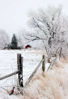 Snowy country scene... red barn in the distance, snow covered trees... old fence...