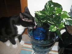 Nitro requested fresh running water to drink. Cat fountains are really expensive so I made this for about $11, and it looks better too. I used Dollar Tree glass nuggets and blue wine glass, submersible fish tank filter, an ice bucket and a silk plant. As you can see, he loves it.