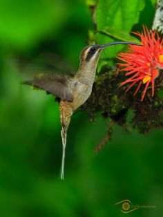 Almost impossible to stop the wings of a hummingbird!   This is the long-billed hermit humming bird in the rain forest of Costa Rica. Golden Blur by Chris Petersen on 500px