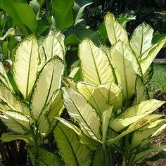 Cómo ciudar la dieffenbachia en tu hogar o jardín
