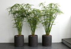 papyrus plante - Sök på Google