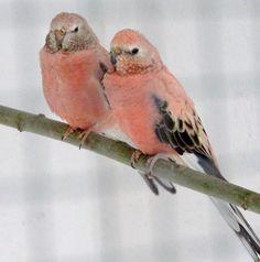 Bourkes Parakeets