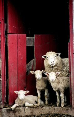 ╰☆TOWN And COUNTRY☆╮ **Family of sheep in West Virginia  (by Charlotte Geary Photography)**                                                                                                                                                      More