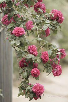'Maria Callas' (1965) a Hybrid Tea rose | Photo by Georgianna Lane