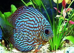 Идея бизнеса для домашнего заработка, аквариумные рыбки-разведение