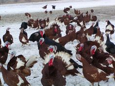 Lots of gobbles at the Good Shepherd Poultry Ranch. I see some Bourbon Red and Black Heritage Turkeys!