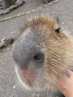 capybara ♥...saw this animal in Canada and died of love.