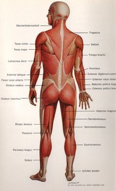 diagram of the body would become helpful for describing the muscles in the body. Textbook of Anatomy and Physiology Muscle Anatomy, Body Anatomy, Anatomy Study, Anatomy Reference, Medical Coding, Medical Science, Muscular System, Human Anatomy And Physiology, Medical Terminology