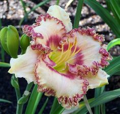 "the Lily Auction - the #1 Daylily Marketplace on the internet- Daylily-called ""Prissy Girl"""