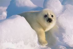 Marine Wildlife Encyclopedia: Harp Seal