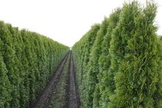 Thuja Smaragd Lebensbäume online kaufen - Heckenpflanzen Thelen