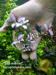Bucephalandra Pink Martini Characteristic of this species is creeping species with long leaves and dark leaves at emersed. Pink Martini is mutation by hormones but stabilize at the progress. Freshwater Aquarium Plants, Live Aquarium Plants, Planted Aquarium, Indoor Water Garden, Lawn And Garden, Rare Plants, Exotic Plants, Underwater Plants, Floating Plants