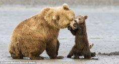 Like Animals, Baby Animals, Adorable Animals, Cut Animals, Funny Animals, Kodiak Island, Animal Tumblr, Brother Bear, Momma Bear