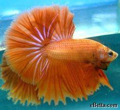 Orange Half Moon Betta Fish   HALFMOON PLAKATS
