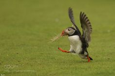 puffin / Macareux moine by theoparmentier14 via http://ift.tt/2aiWgGd
