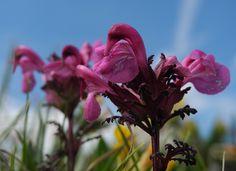 Aehren Laeusekraut Bluete pink Pedicularis rostratospicata