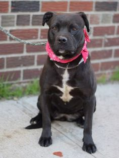 SAFE 5-8-2015 by All Breed Rescue Vermont --- Brooklyn Center GIRLIE – A1034116 FEMALE, CHOCOLATE / WHITE, PIT BULL MIX, 1 yr OWNER SUR – EVALUATE, NO HOLD Reason MOVE2PRIVA Intake condition EXAM REQ Intake Date 04/23/2015,
